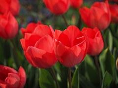 tulips-1117859__180